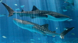 Everyone knows that sharks have an amazing sense of smell. Toss a chunk of salmon into the shark tank at the Monterey Bay Aquarium in California, and you can see it in action. Or do they? New research indicates that's actually a myth.