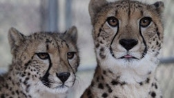 Get up close and personal with some of the rarest cats in the world. At Project Survival's Cat Haven in Dunlap, California you can.