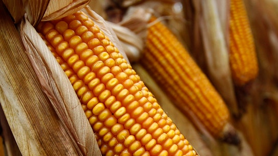 Corn Prices Fall, But Cattle Prices Rally