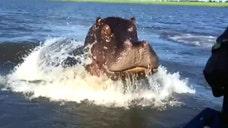 Raw video: Hippopotamus bursts out of water behind safari boat in Botswana
