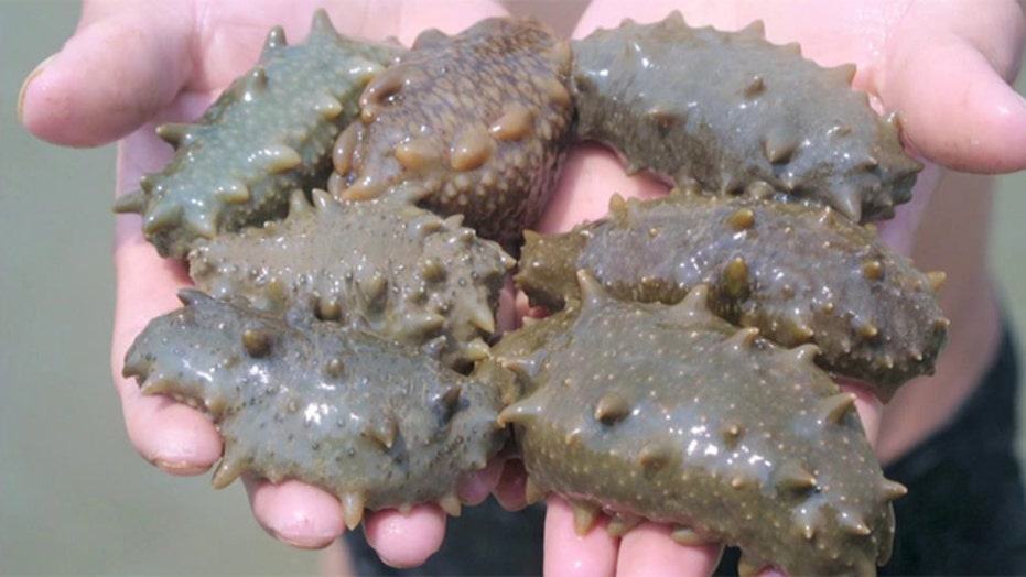 'Miracle' sea cucumber used to treat cancer