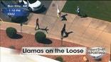 Two llamas on the loose in Arizona.