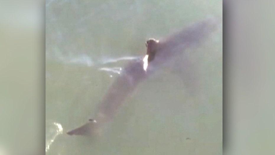 Baby great white sharks shock beachgoers