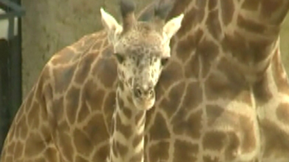 Big baby giraffe birth celebrated at Santa Barbara Zoo