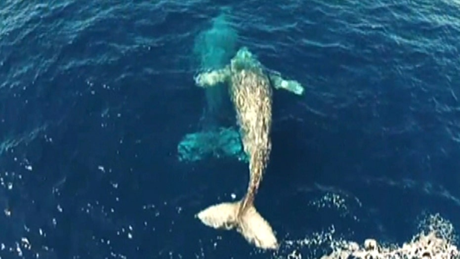 Dolphin interrupts courting gray whales