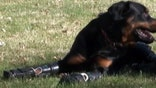 Rottweiler walking again with prosthetic paws