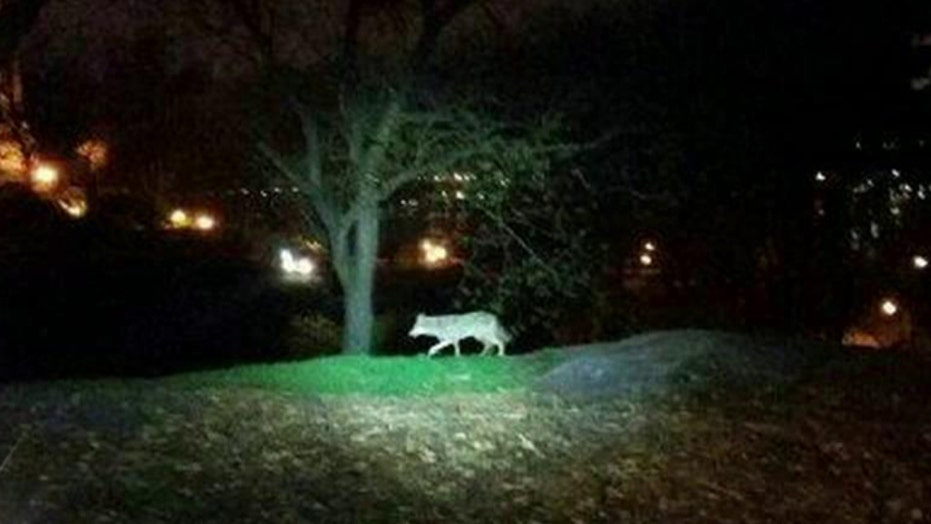Coyote sightings on the rise in NYC