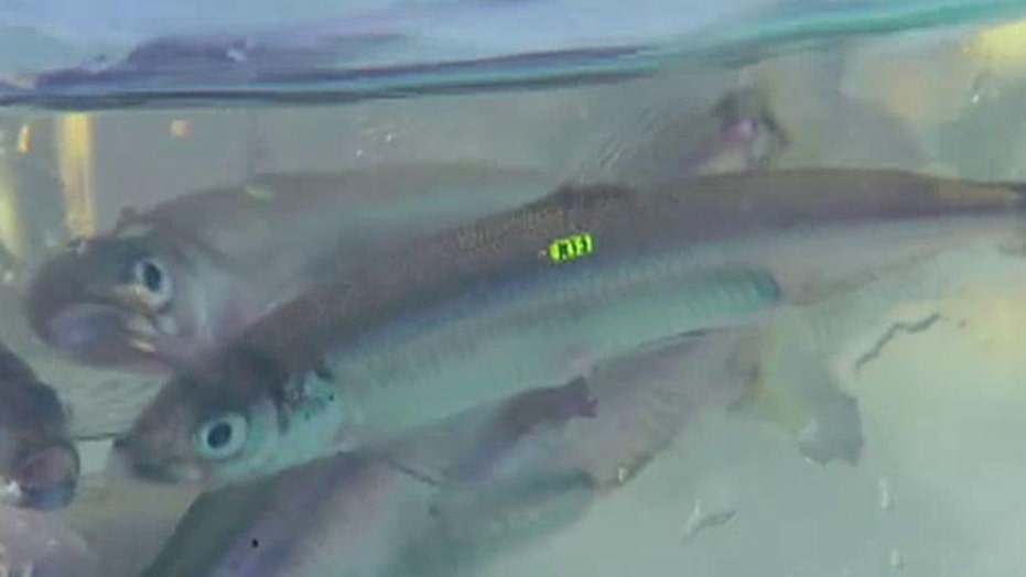 Battle brewing over California's Delta Smelt