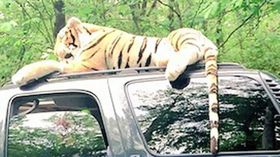 Officer responds to call about stuffed tiger on car roof