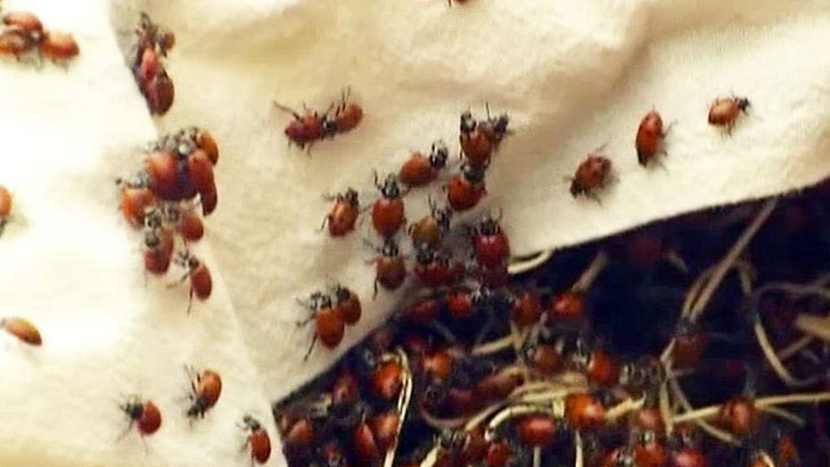 Students face charges after releasing 72K ladybugs in school