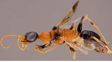 'Dementor' wasp turns cockroaches into zombies. Is this the scariest wasp ever?