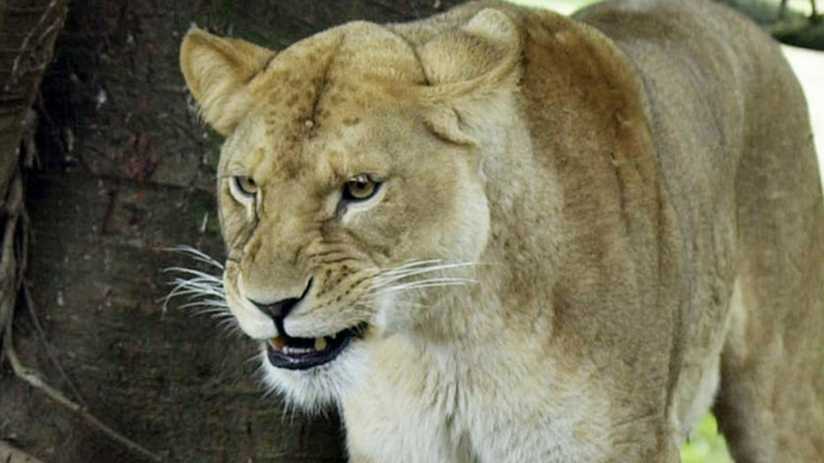 Lion kills American woman at South Africa wildlife park