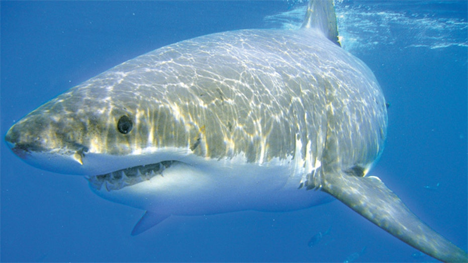 Researchers using GPS technology to track and study sharks