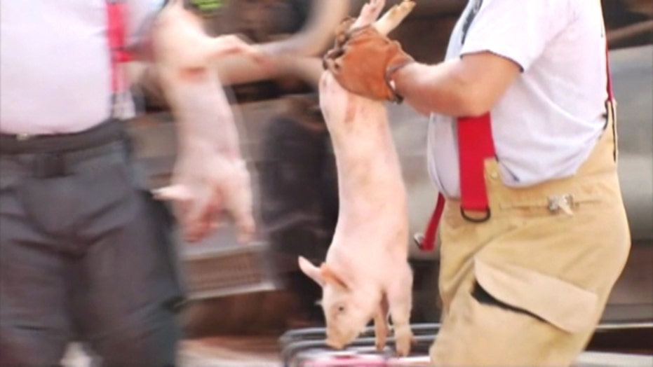 Pigs on the loose: Overturned truck spills swine on highway