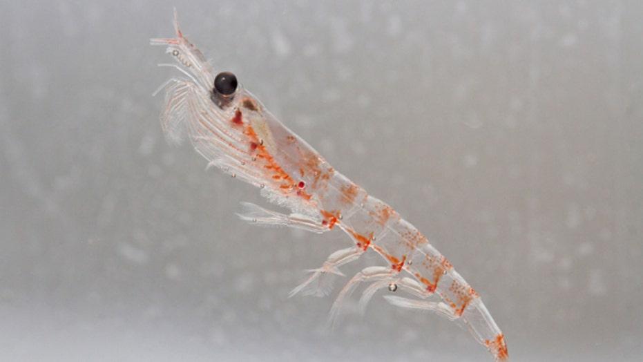 Is krill oil better than fish oil?