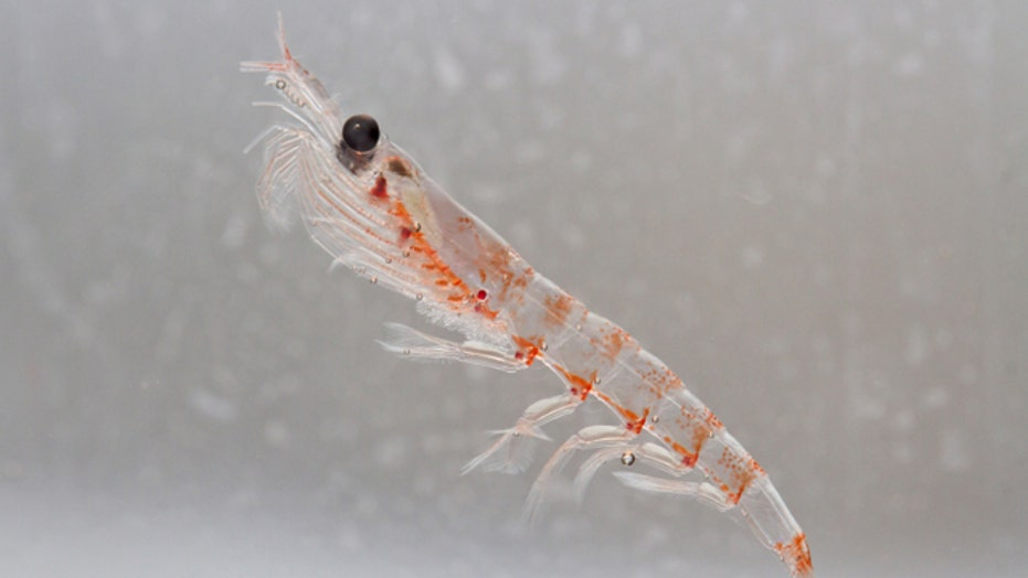 Health benefits of krill oil: 5 ways the supplement trumps