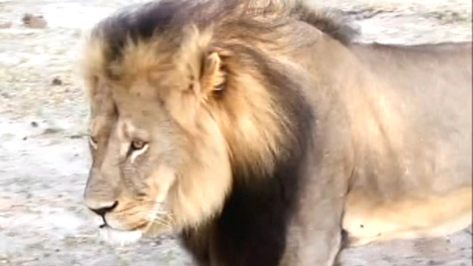 Raw video: File footage of Cecil the lion