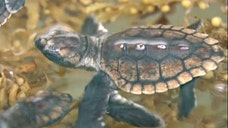 Reptiles born on Florida's beaches