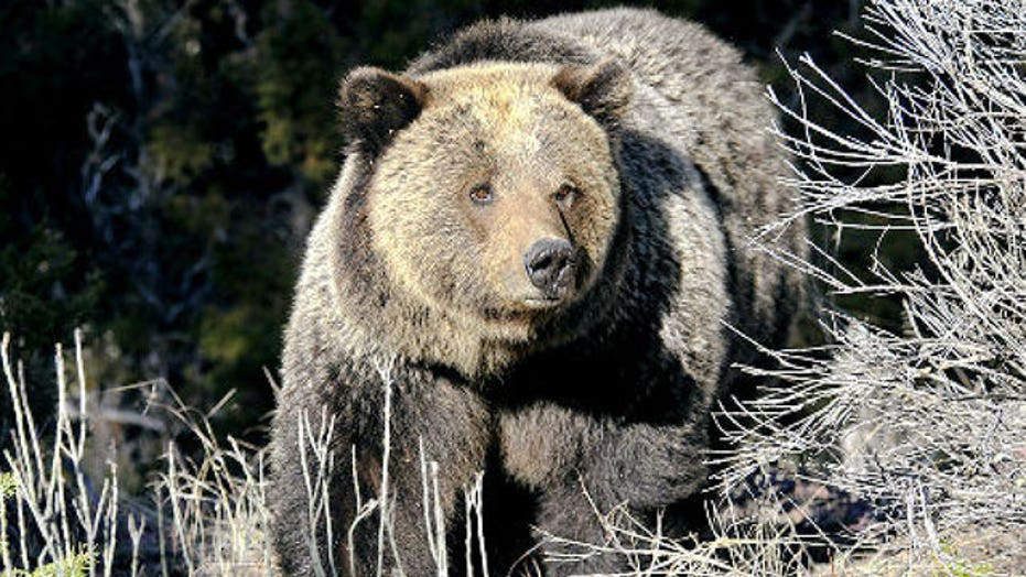 Grizzly bear suspected in hiker's death