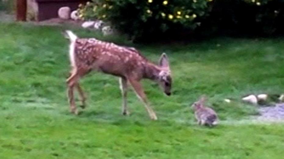 Video of rabbit and deer frolicking together goes viral