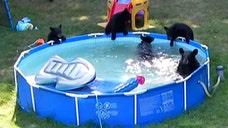 Mama bear and cubs enjoy New Jersey family's backyard pool