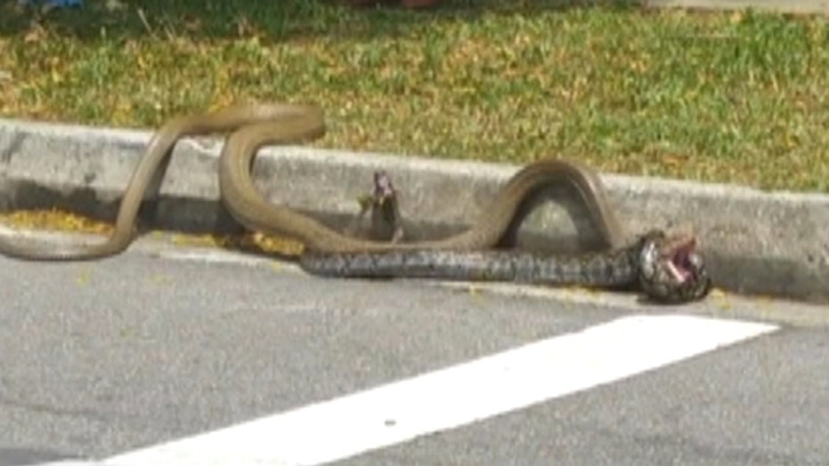 Python vs. cobra: Epic battle on Singapore street