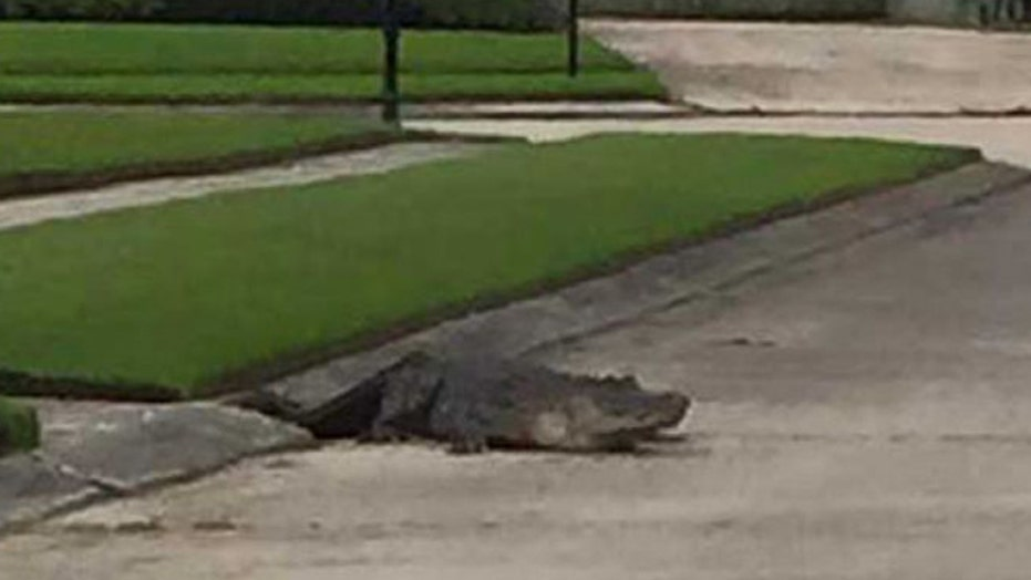 10-foot- alligator wanders through Louisiana neighborhood