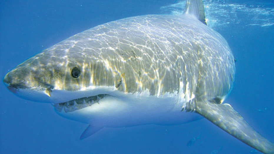 NOAA: Historic number of sharks found off East Coast