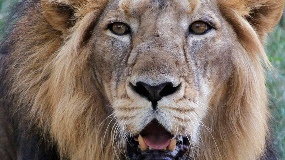 Four lions test positive for coronavirus at Barcelona zoo
