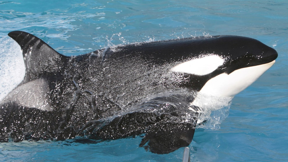 SeaWorld announces major change to its killer whale shows