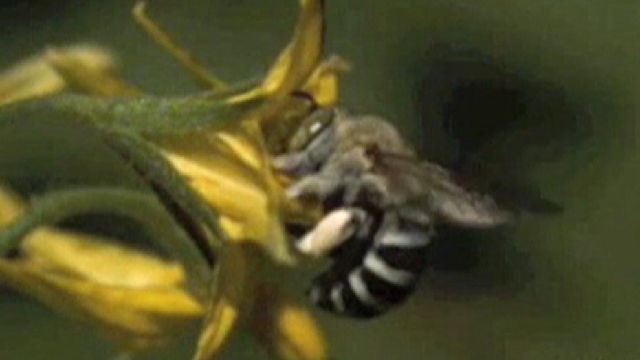 Raw video: Bee pollinates flower