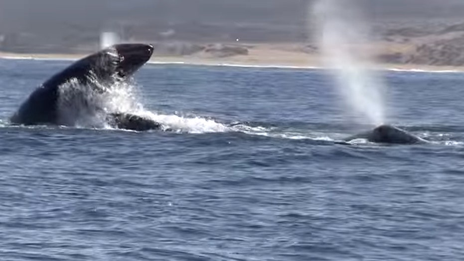 Life and death struggle as orcas attack gray whale, calf