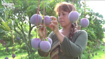 Florida horticulturist uses bees to cross-pollinate wild mangoes from Borneo