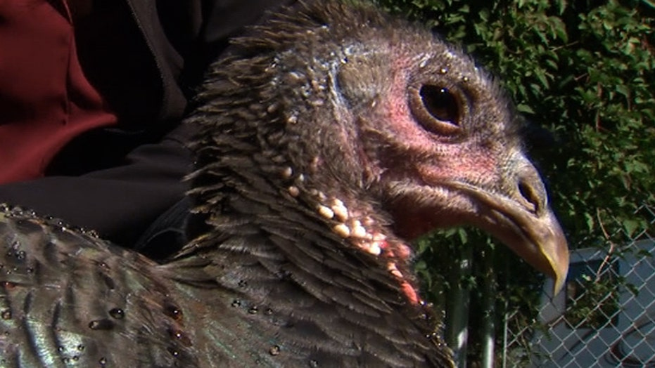 Woman gets pet turkey for emotional support