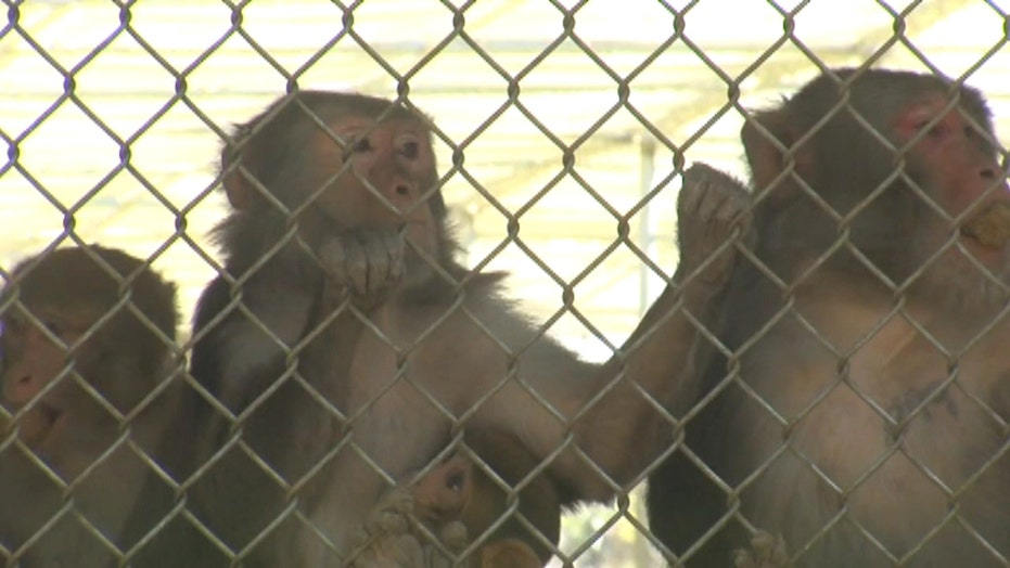 Fighting Zika with monkeys