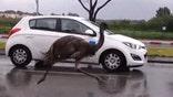 Raw video: Big bird surprises drivers in Herzliya, Israel