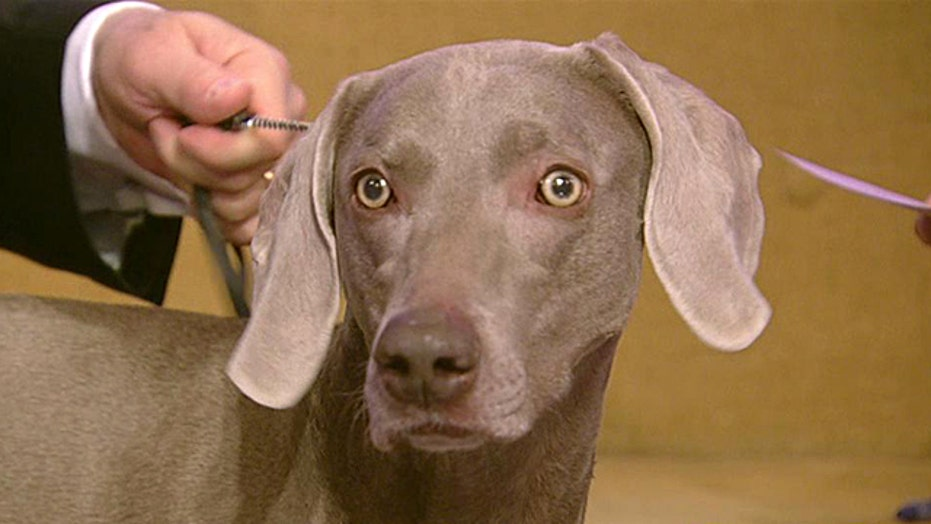Stars of the Westminster Kennel Club Dog Show