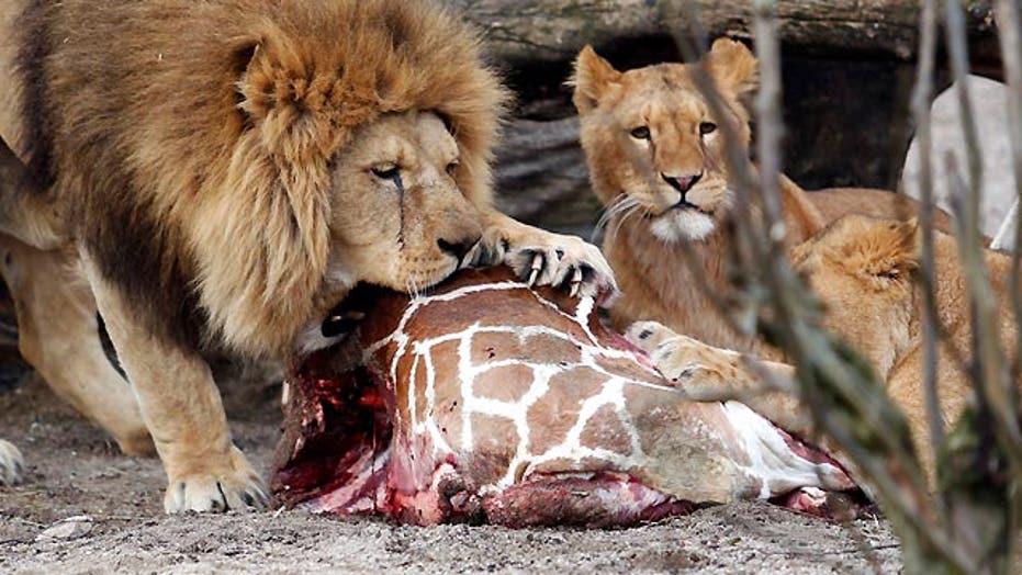 Danish zoo kills giraffe, feeds to lions