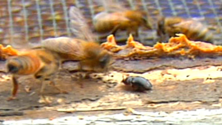 Bees v. beetles: Beekeeper fights beetles with new invention