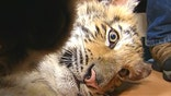 Chicago man faces misdemeanor charges after bringing Siberian tiger cub to local tavern