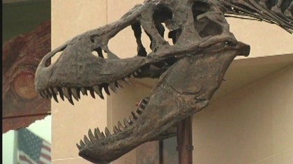 Nearly complete set of dinosaur fossils discovered in Montana examined before journey to D.C.