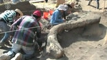 Raw video: Archaeologists claim discovery is most complete, well-preserved set of mammoth bones ever found in Mexico