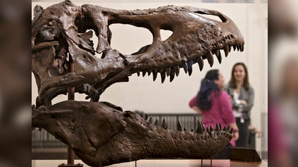How did dinosaur make it to museum?
