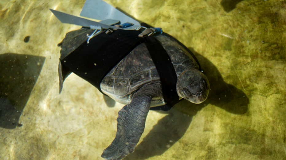 Amputee sea turtle gets high-tech flipper
