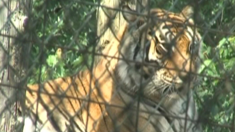Indiana woman mauled by tiger