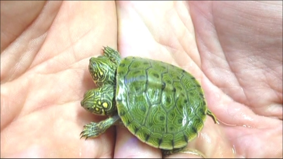 Two-Headed Turtle Thelma And Louise