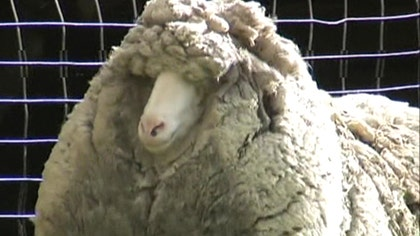 Raw video: Australian farmers claim animal found wandering Tasmanian countryside hasn't been shorn in  years