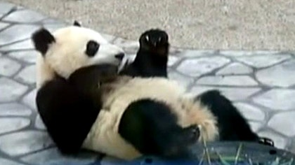 Zoo officials in China who pampered giant panda cancel live broadcast of birth after finding out animal wasn't pregnant