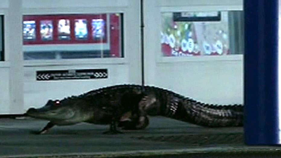 Attention Walmart shoppers: Gator loiters by store entrance