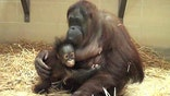 Brookfield Zoo celebrates Orangutan Awareness Week
